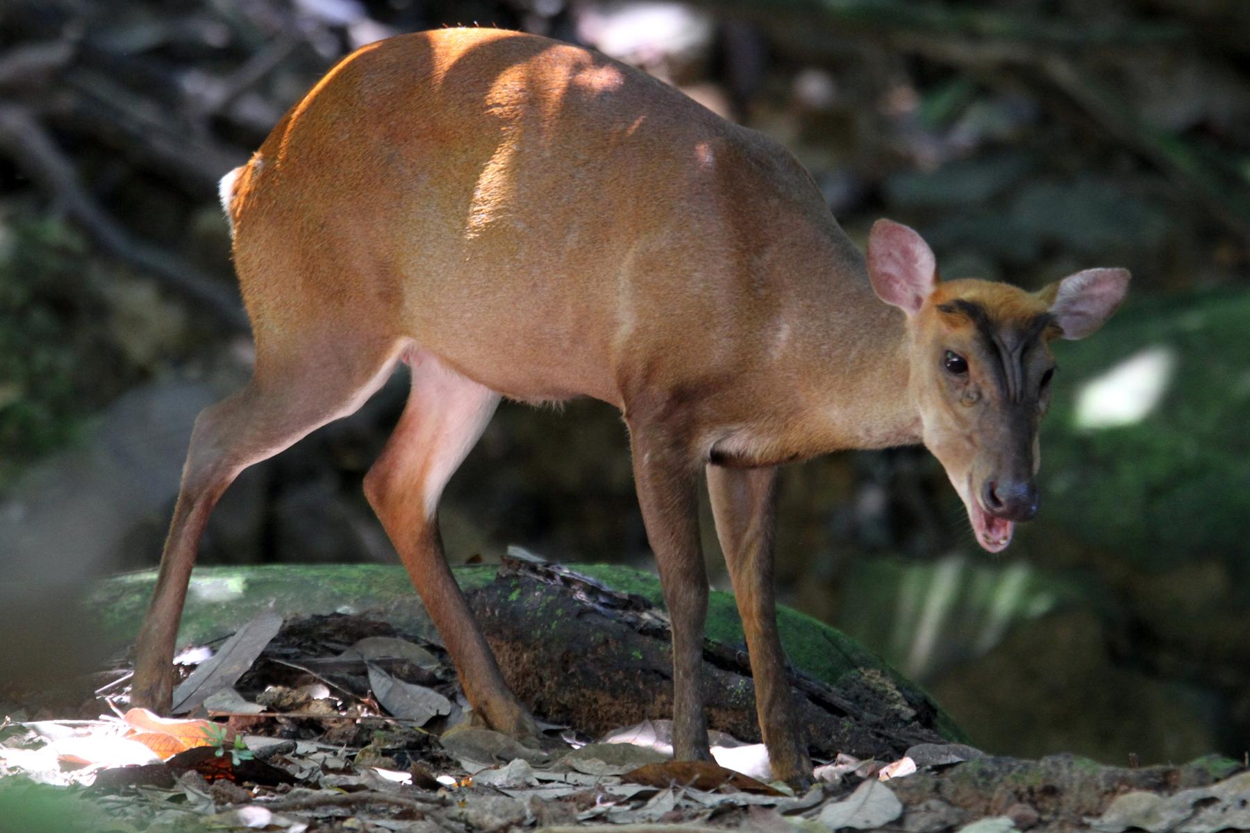 Wild boar, civet cats, barking deer: Hong Kong wild animals and
