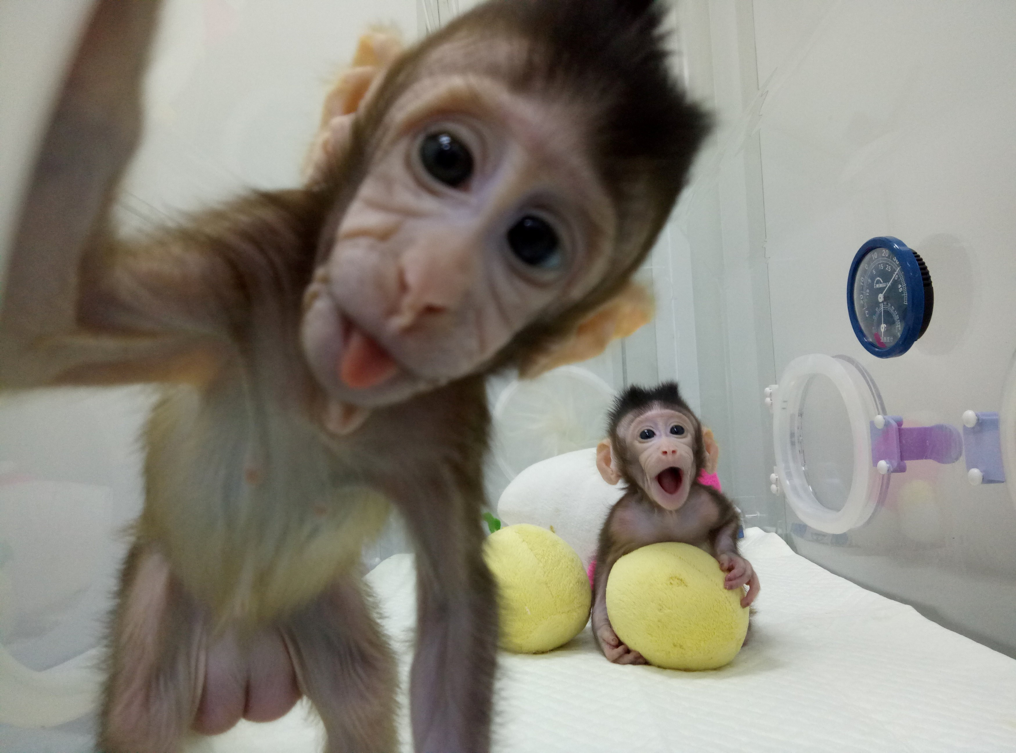 The techniques used to give life to a pair of long-tailed macaques were  fundamentally the same as those used by scientists in Scotland in 1996 to  create ...