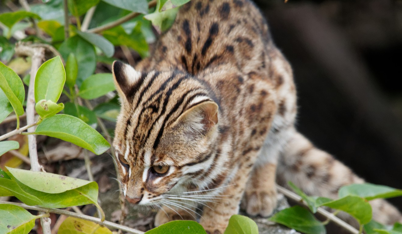 Image result for kadoorie farm leopard cat