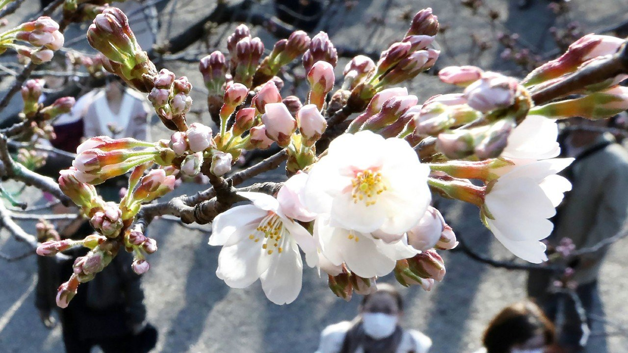 Japanese Cherry Blossom Season Is Here But Trees Could Be Wiped Out By Foreign Species Of Beetle South China Morning Post