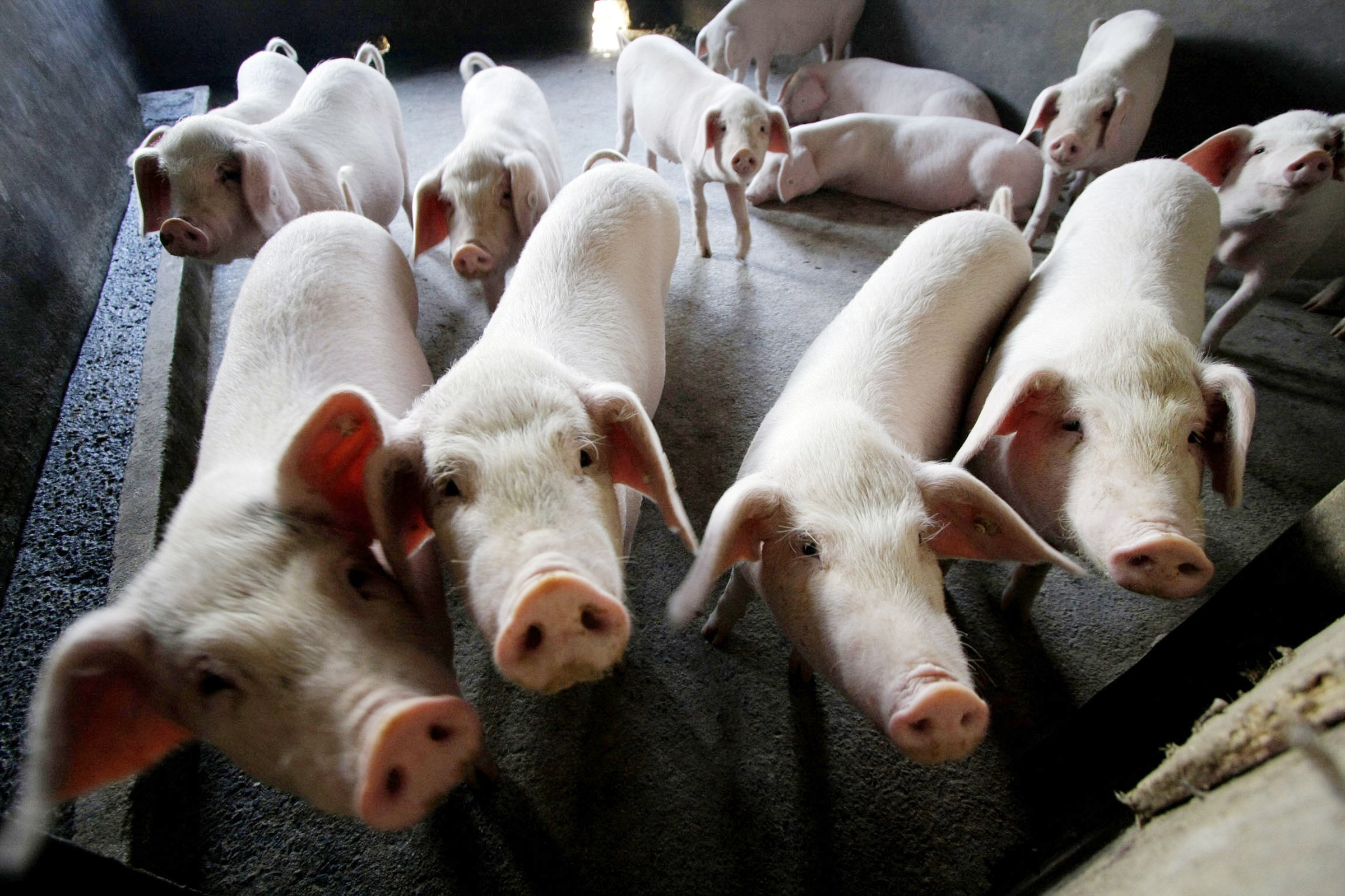 Another Chinese farm hit by African swine fever