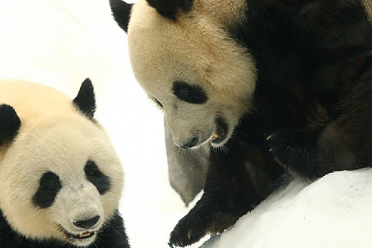 Animal Insemination Porn third try at love flops for ocean park's panda pair | south
