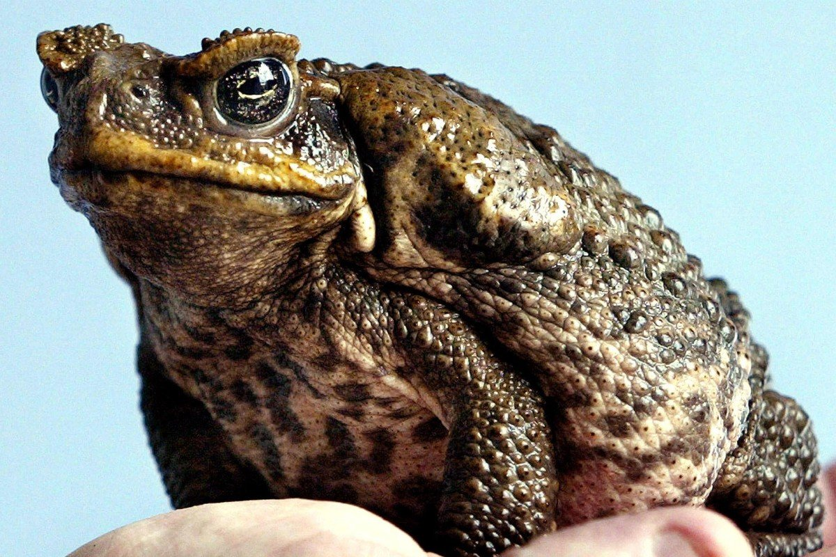 Australian cane toads by the million lined up for export to China as