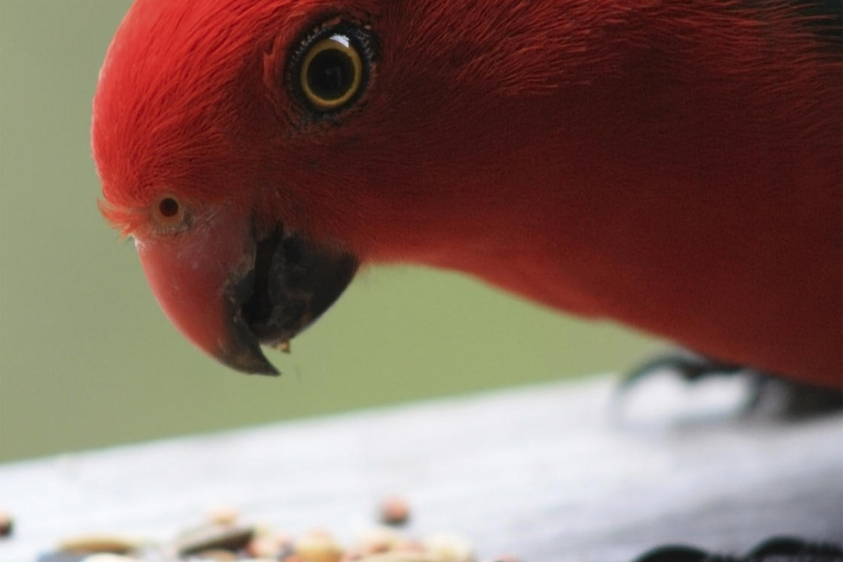 Seed-only diet is harmful for parrots | South China Morning Post