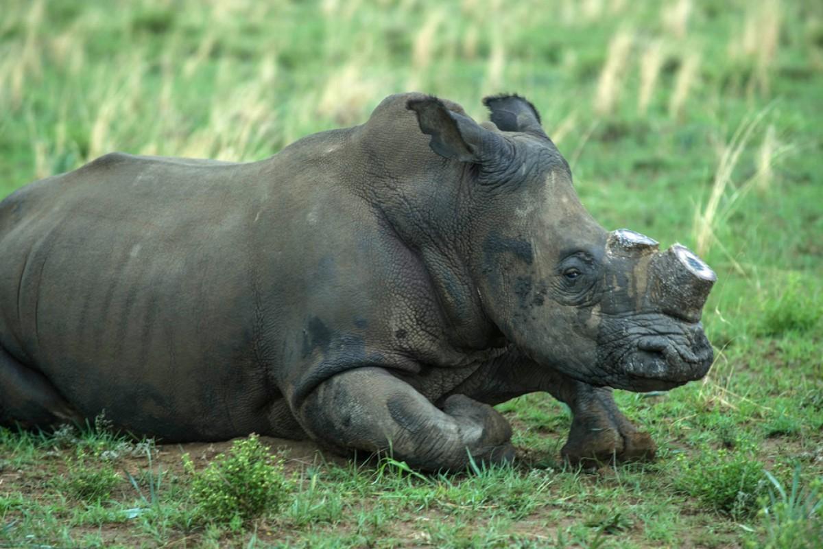 Value rhino horns Antique rhino