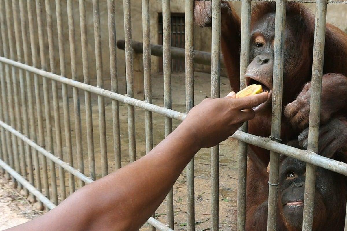 Orangutan rips off wildlife officer's finger as Thailand