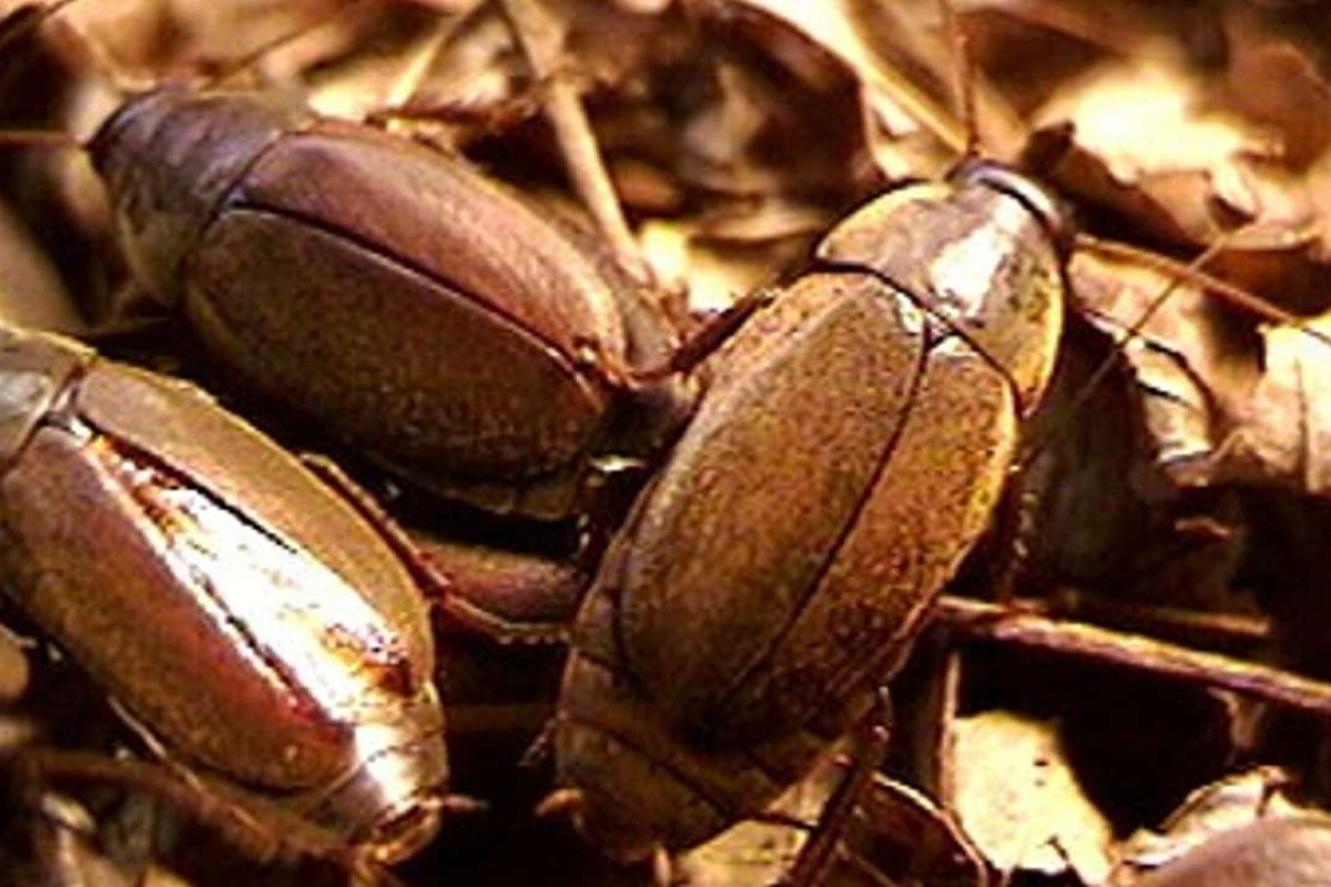 It's no gag: cockroach milk is one of the world's most