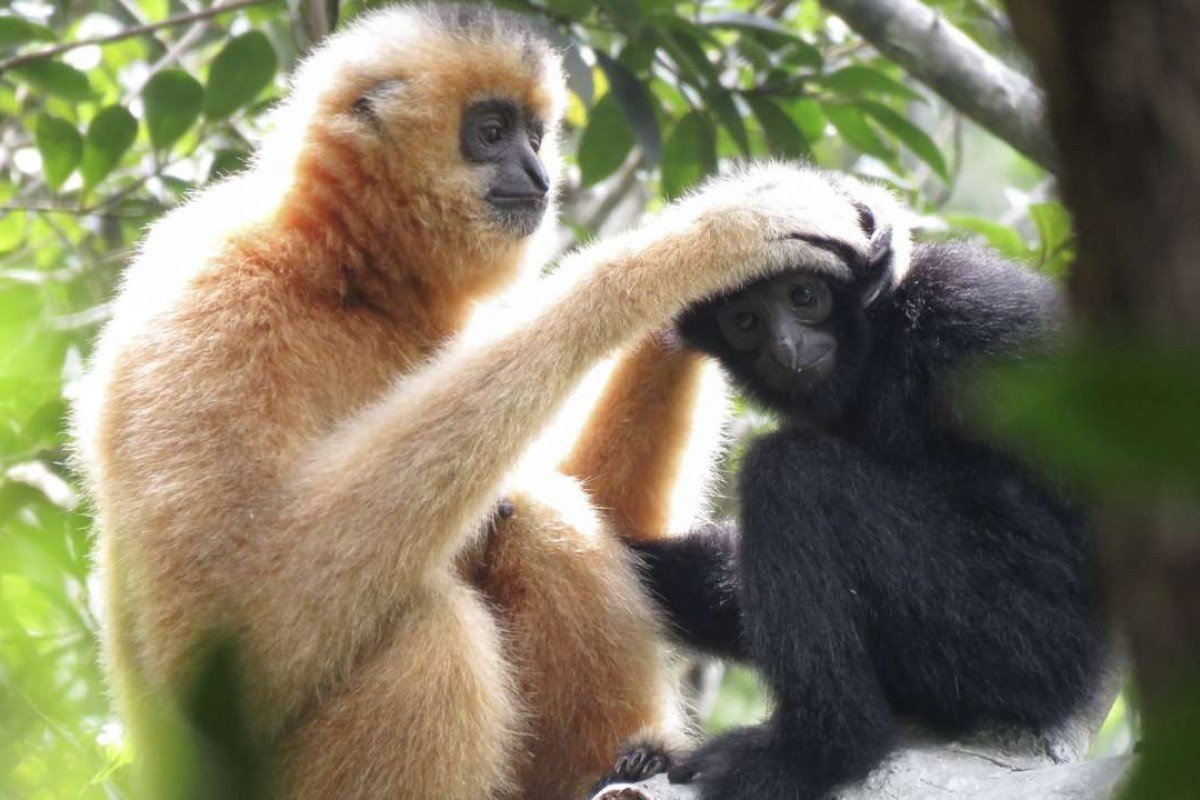 Gibbons at the Bawangling National Nature Reserve, in Hainan, in September last year. Photos: Kadoorie Farm and Botanic Garden and Bawangling National Nature Reserve