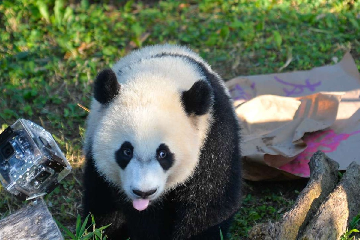 How baby panda Bei Bei became diplomat in US-China relations