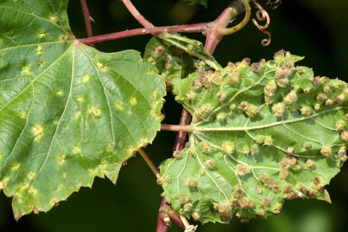 The phylloxera wine louse is back with a vengeance | South
