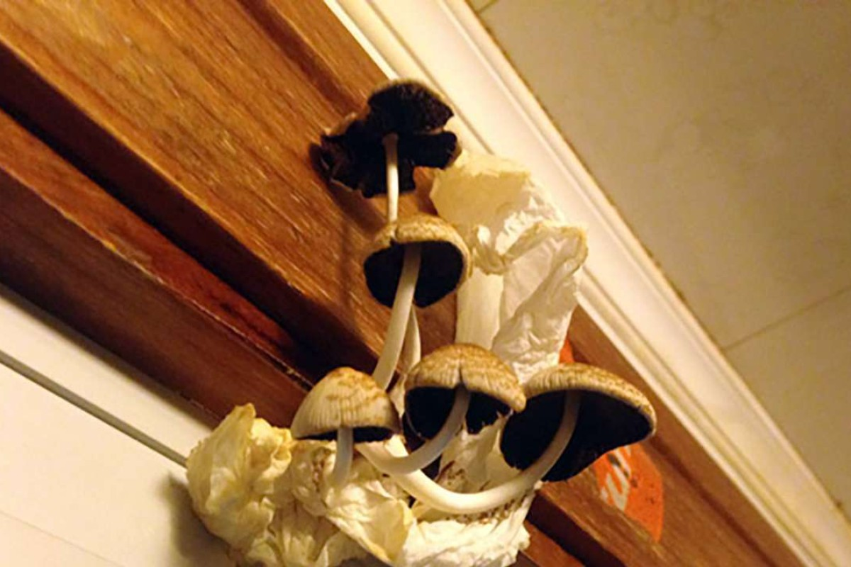 Mushrooms Growing In The Family S Flat Photo Thepaper Cn