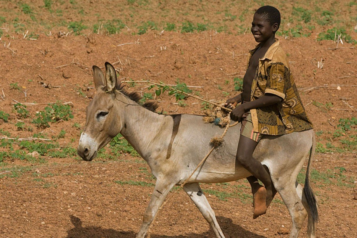 Chinese health fad that's decimating donkey populations worldwide