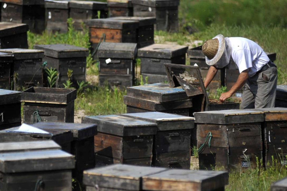 Why China's Asian honeybees are losing out to their Western