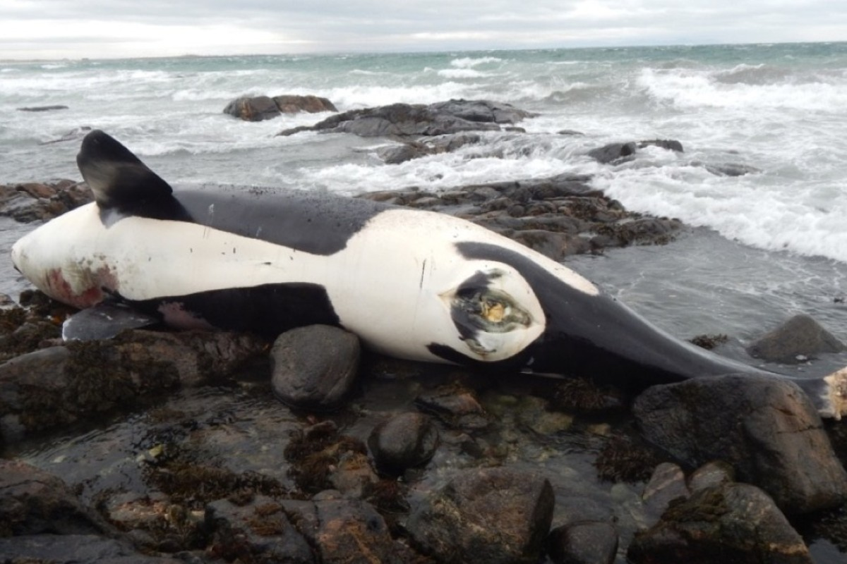 The world's most toxic whale: Orca Lulu contaminated with extreme