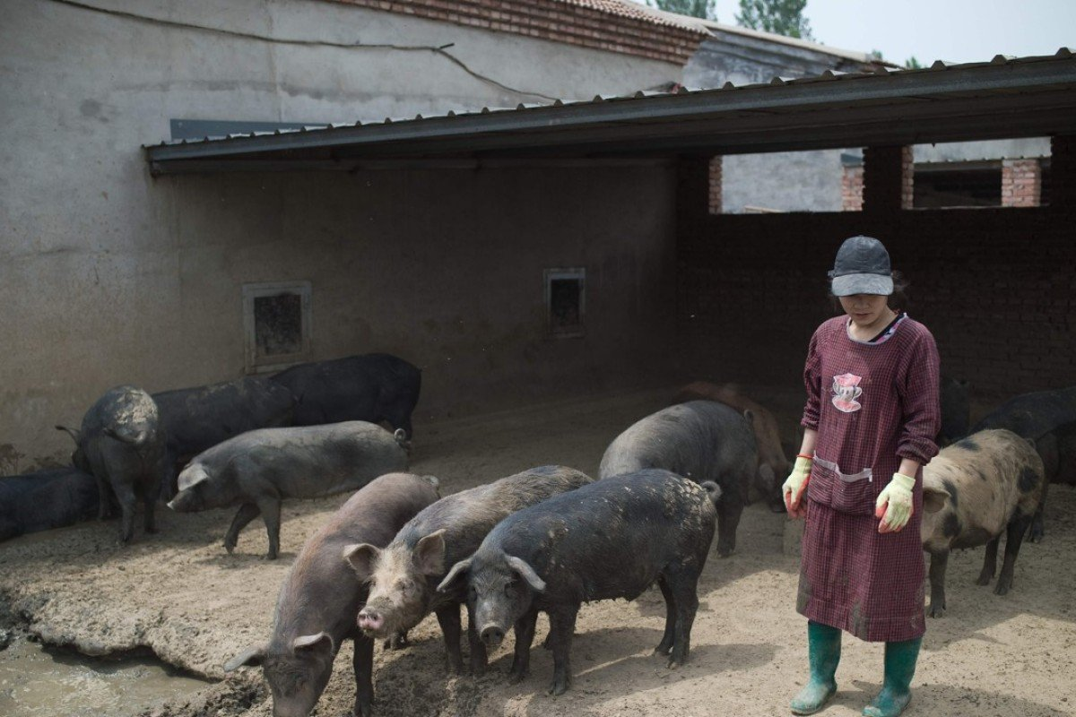 China's 'backyard' pig farmers squeezed as sector scales up