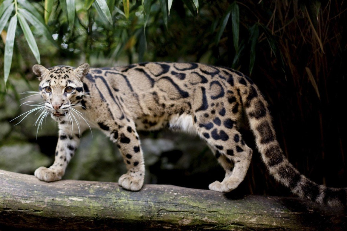 Can Taiwan's Formosan clouded leopard claw its way back from