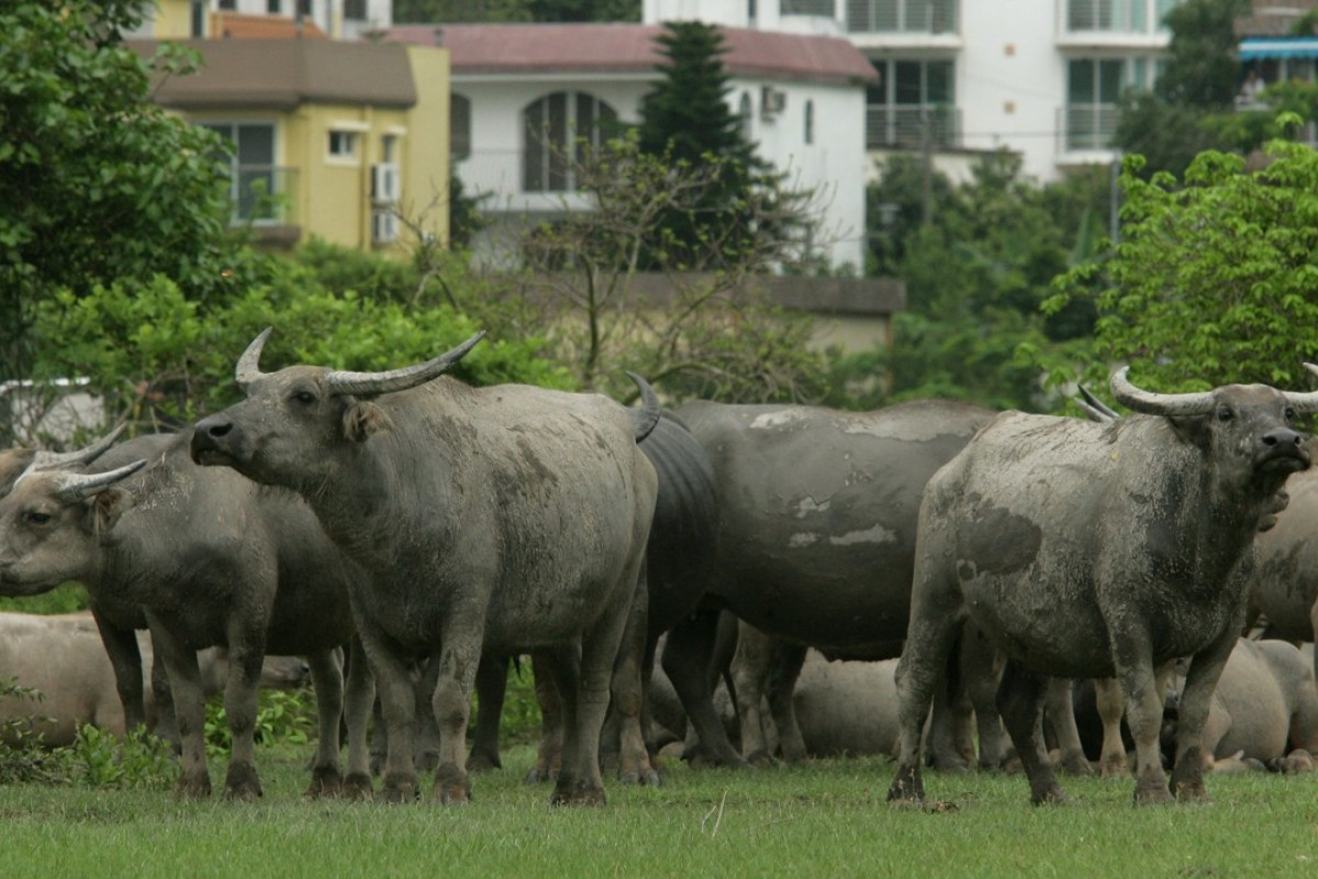 Horns of a dilemma: what can be done about Hong Kong's feral cows