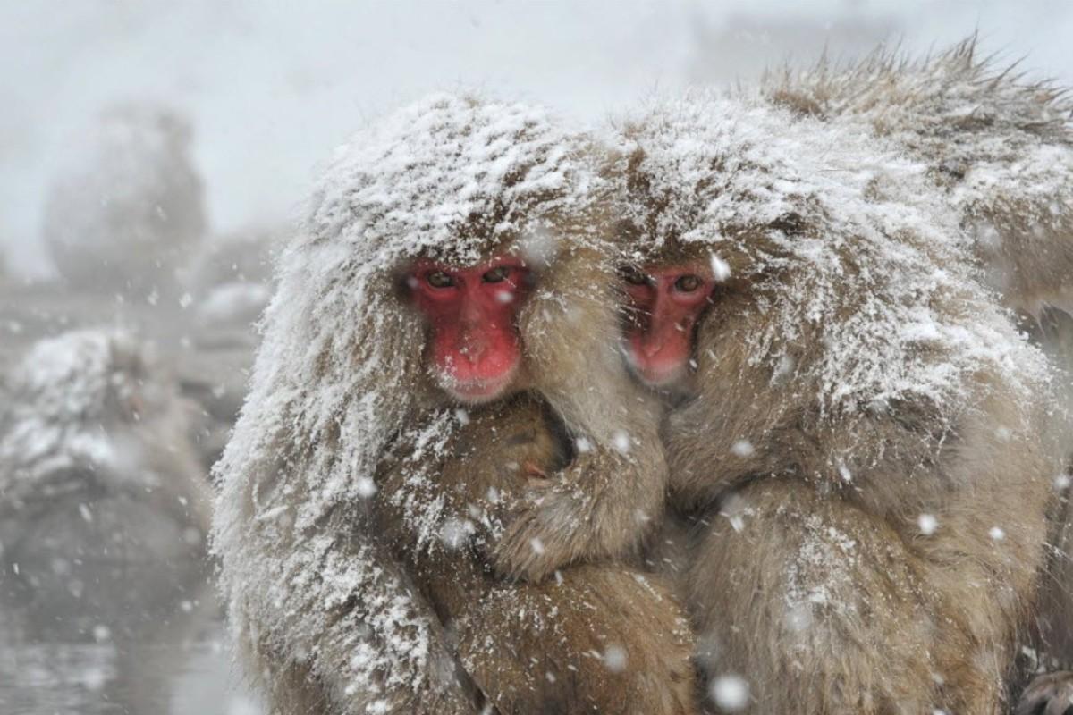 Japanese Alps in winter: snow, sake … and monkeys in hot springs