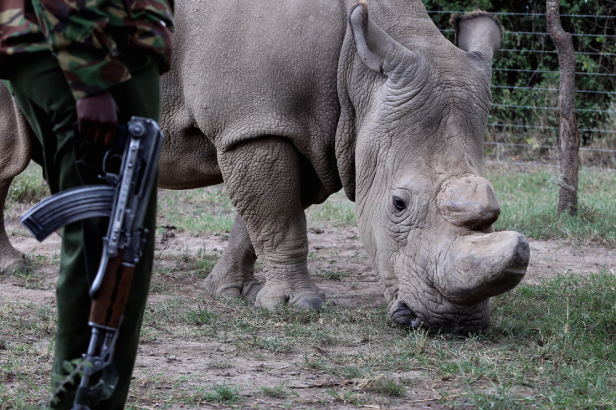 An American biotech start-up is trying to end poaching by
