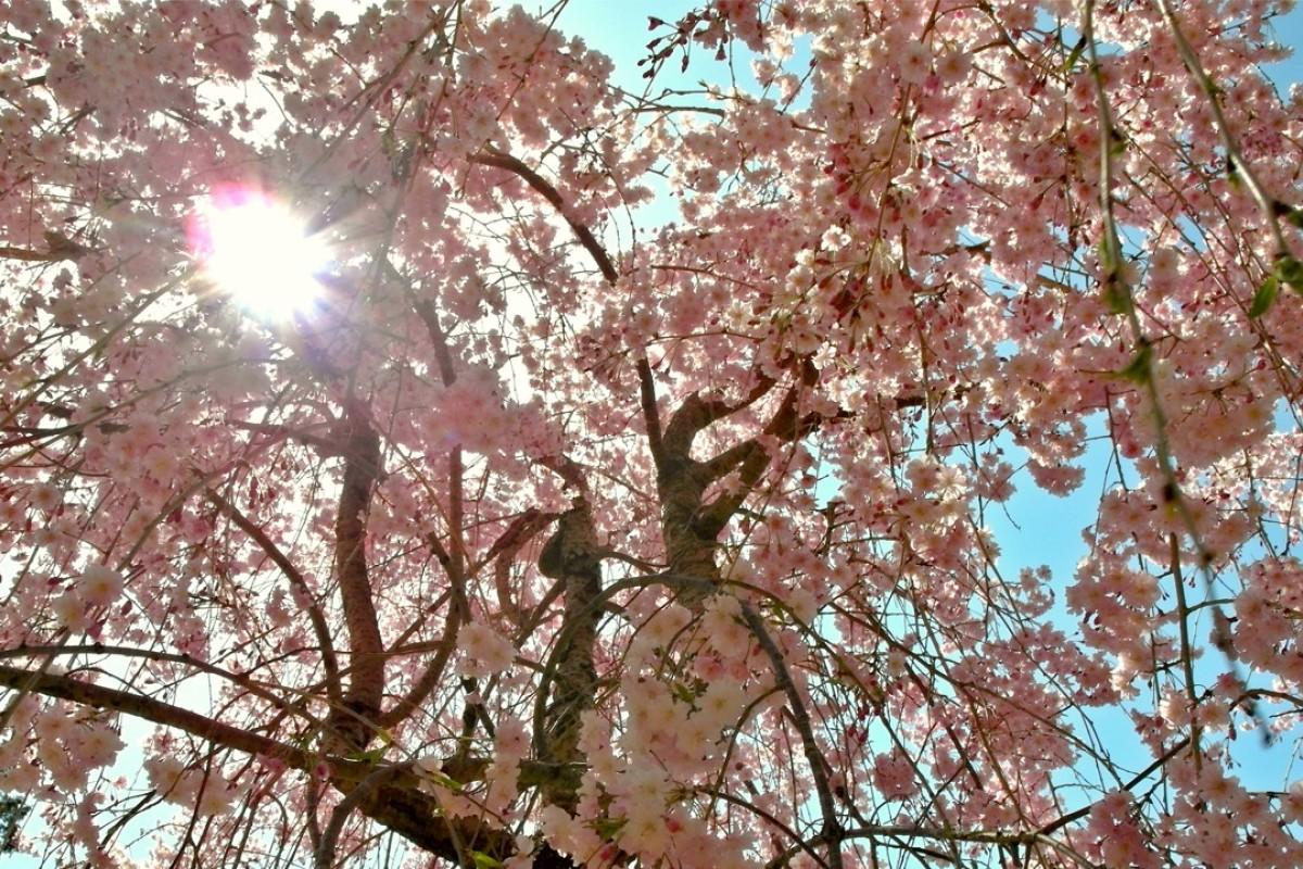 Sự xuất hiện của hoa anh đào ở Nhật Bản là một điểm thu hút khách du lịch hàng năm rất lớn.