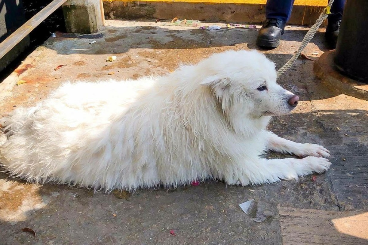 87b89e6f7787 A Japanese spitz was thrown from the roof of a building in Cheung Sha Wan.