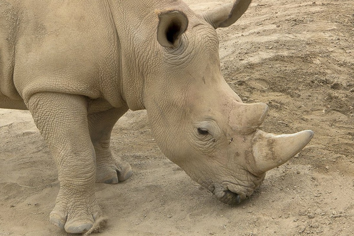 a3b07d6accc1 Victoria the rhino is pregnant. She's carrying the hopes of a ...