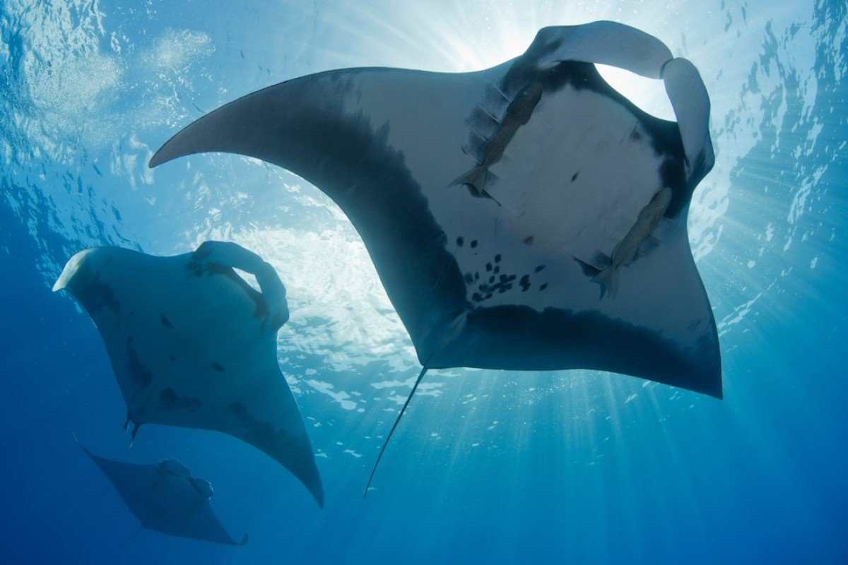 Image result for Manta ray