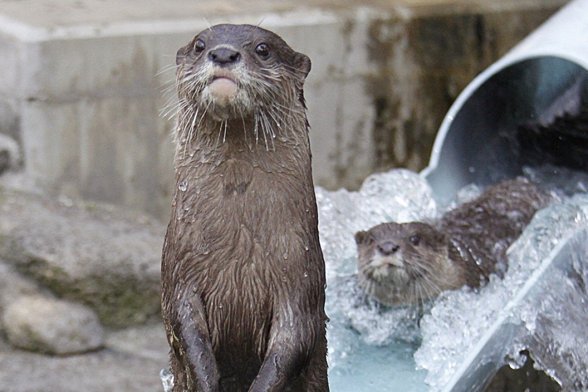 A river otter stands up after a go on the waterslide at Ichikawa Zoological and Botanical Garden in Ichikawa, east of Tokyo. Photo: AP