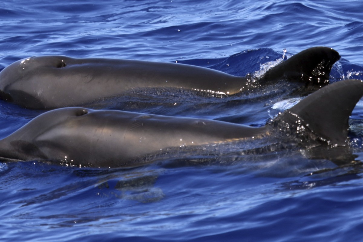 f61c43b6dc0c2 Strange sea creature is a hybrid of dolphin and melon-headed whale ...