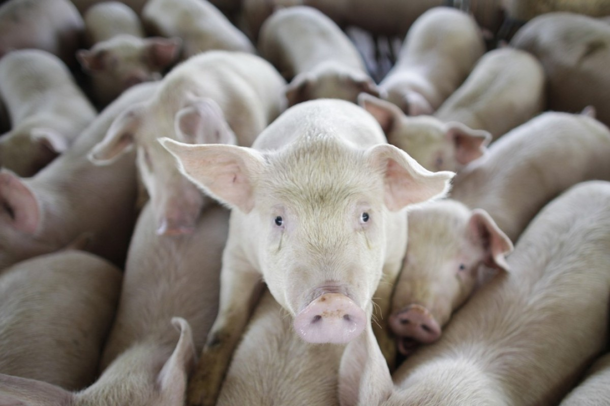 Swine fever outbreak prompts call to slaughter Hong Kong
