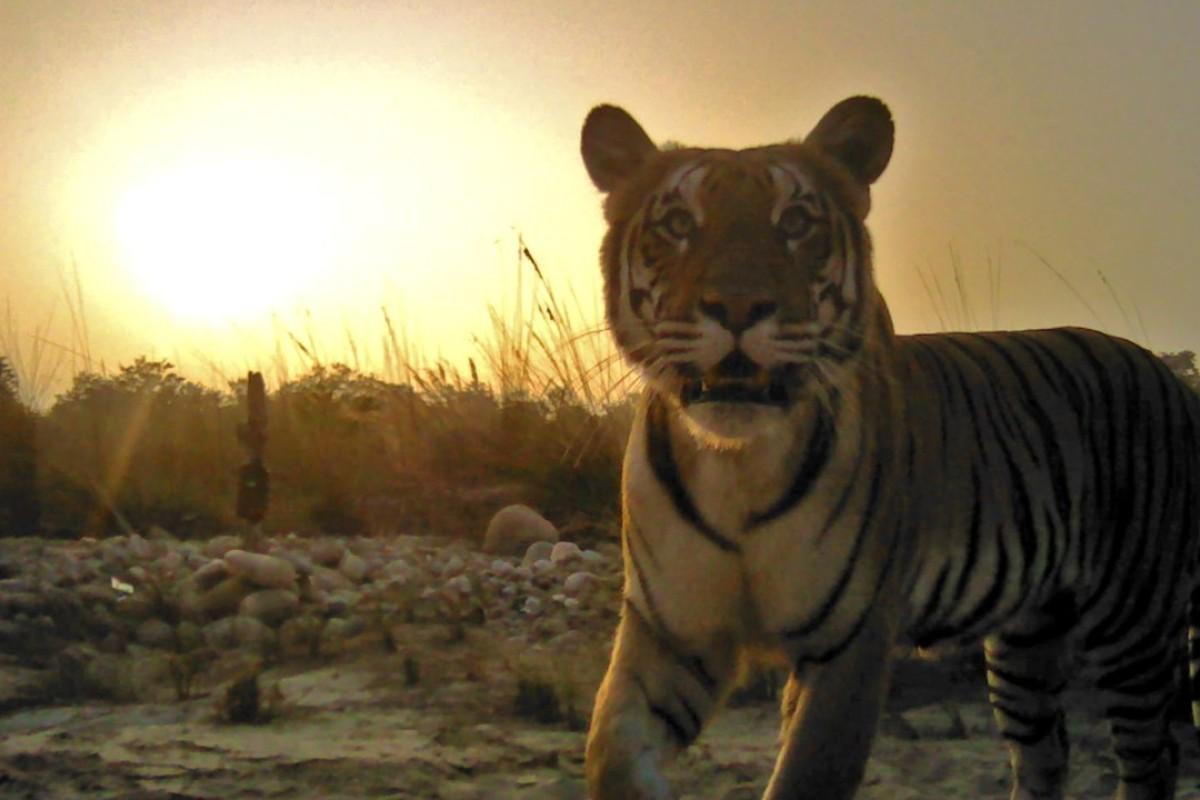 From poacher to ranger: saving China's Siberian tigers