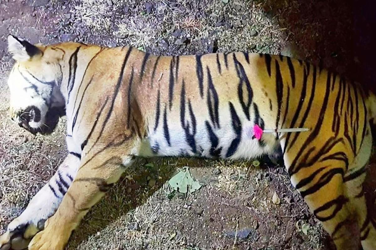 Man-eating tiger shot dead in India after massive hunt, but