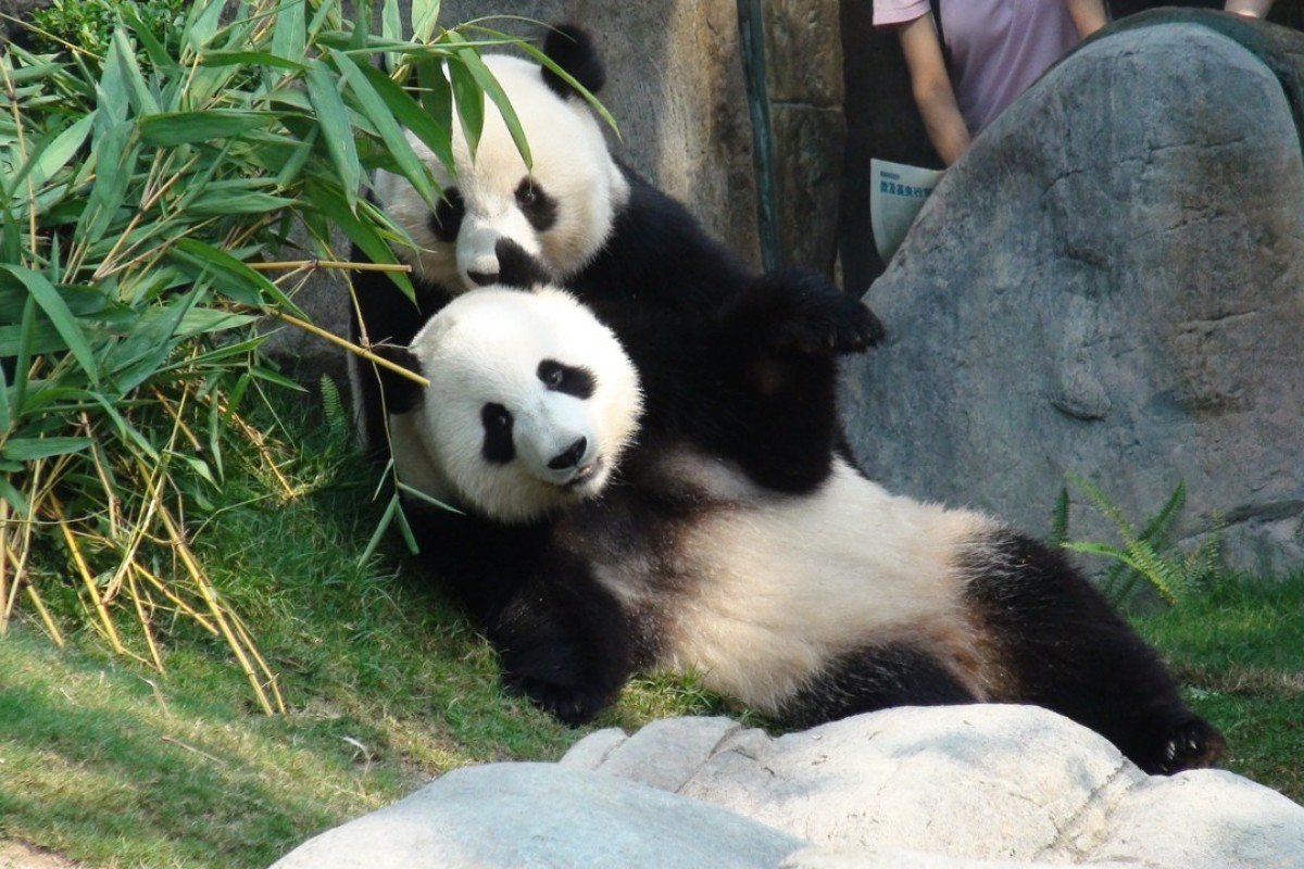 Hong Kong giant pandas Ying Ying and Le Le going from Ocean