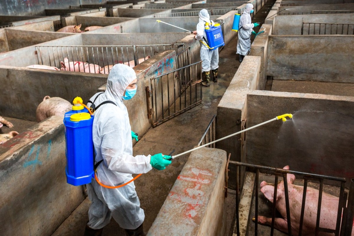 African swine fever spreads to one of China's biggest pig
