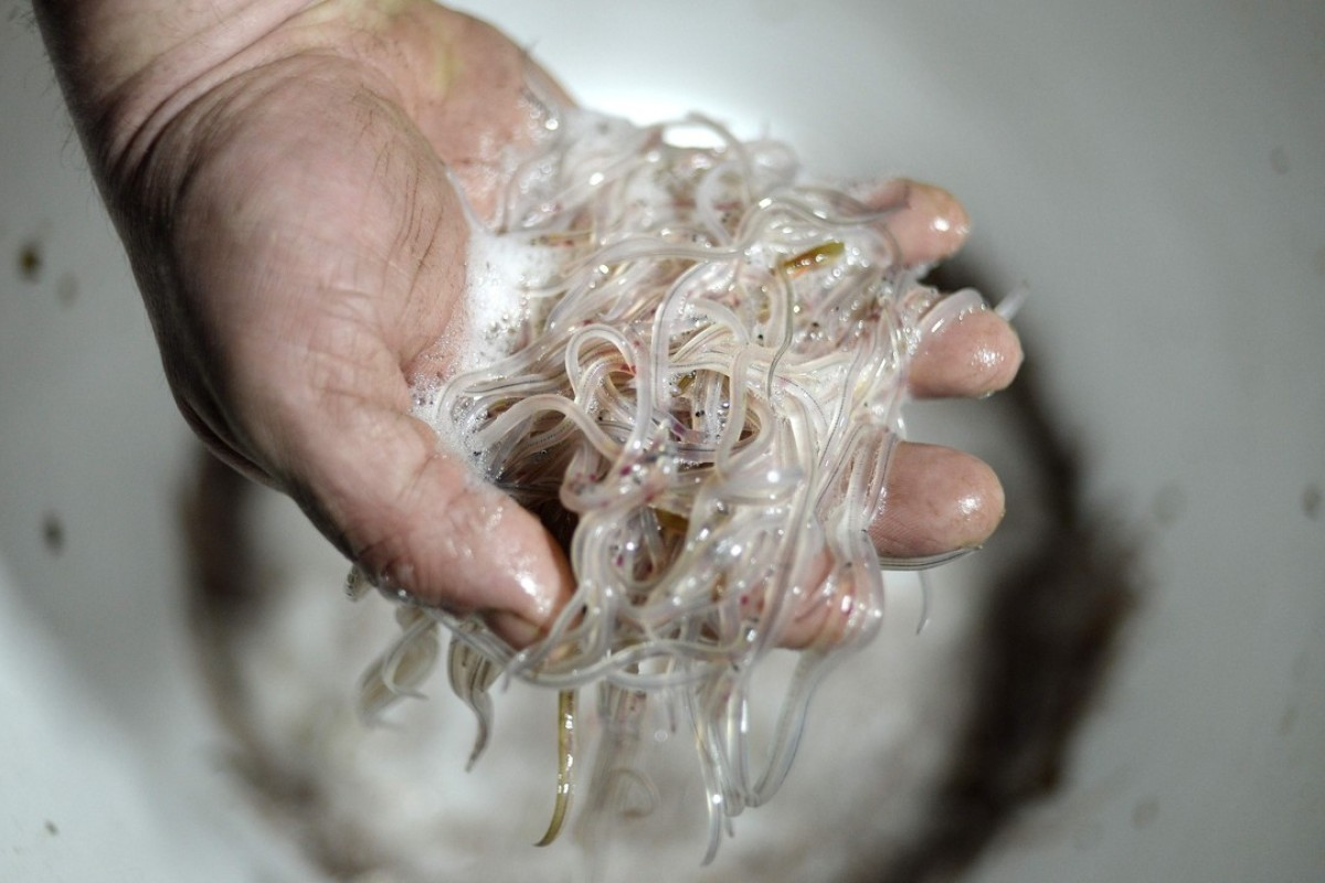 Europe's eels face oblivion as smugglers feed Chinese demand