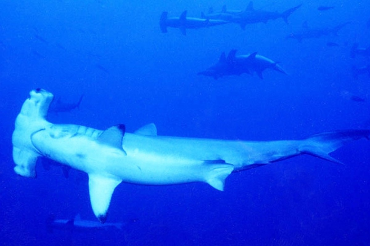 Dive with hammerhead sharks in the crystal-clear waters of Yonaguni