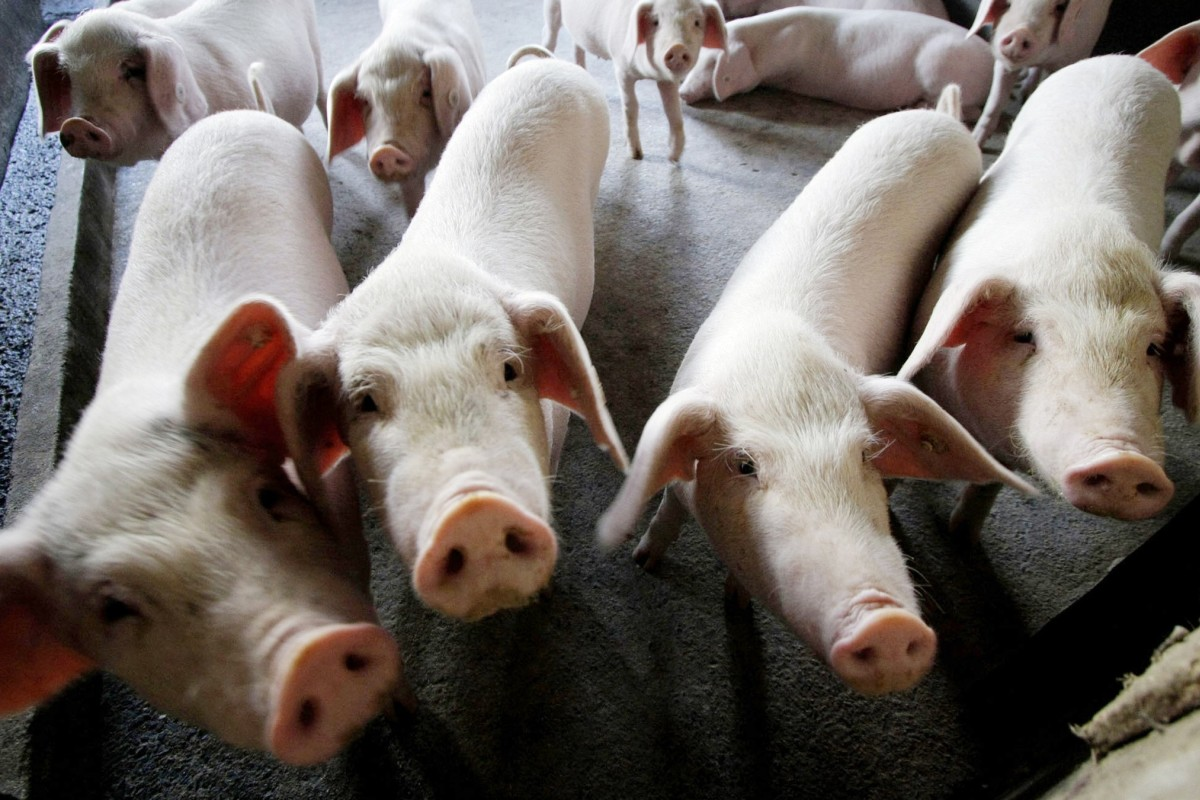 african swine flu threatens chinas long and storied love affair