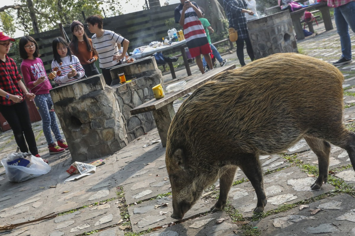 Councillor told his plan to ship wild boars to uninhabited
