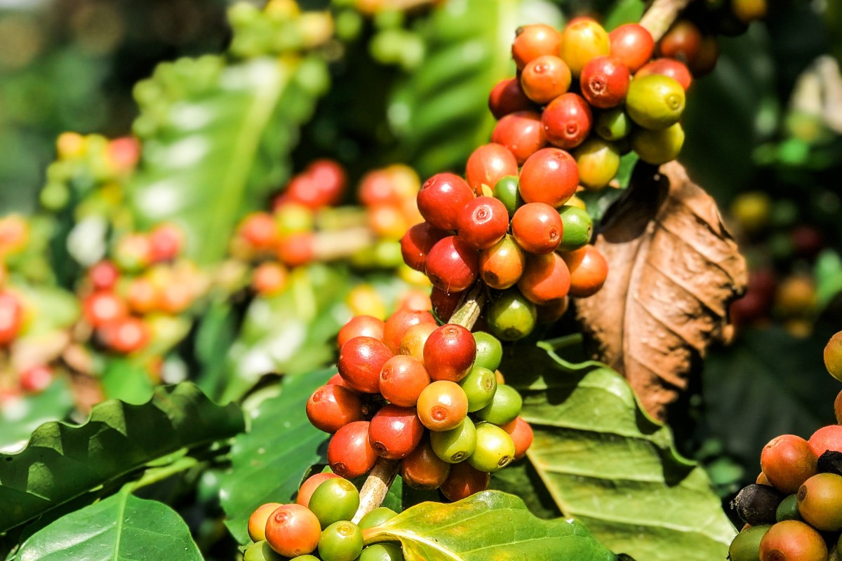 04a2fb7e8dd4 Coffee beans from Taiwan are exported to Japan's Goodman Coffee because of  their aromatic flavours.