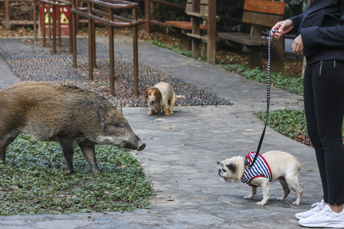 Wild boars in Hong Kong: are they dangerous, why are there more of