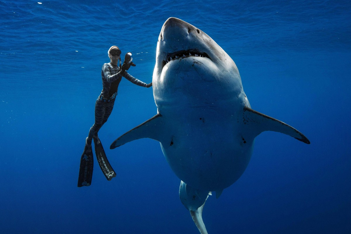 US divers spot 'one of the biggest ever' great white sharks off Hawaii coast