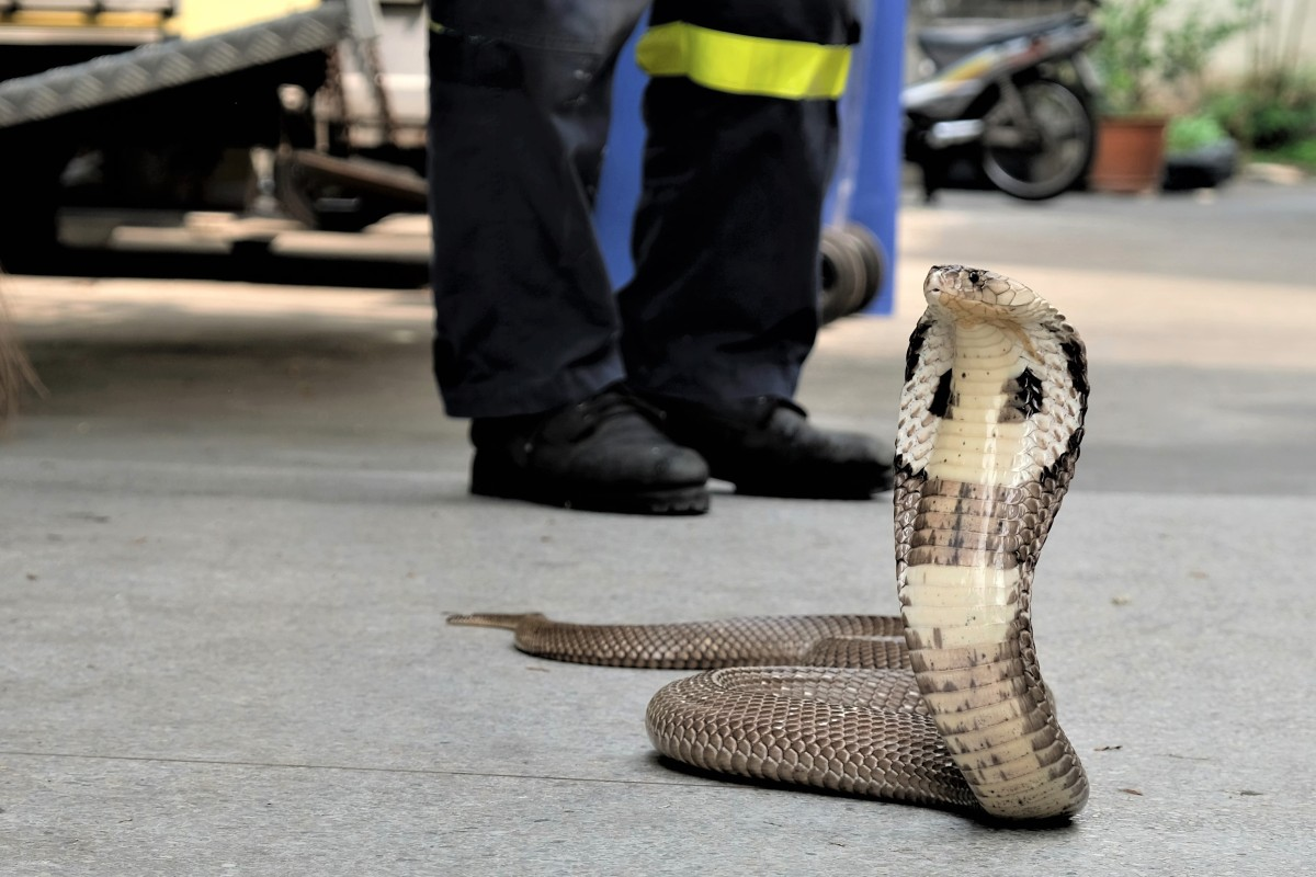 The Bangkok firefighter catching snakes that invade homes in