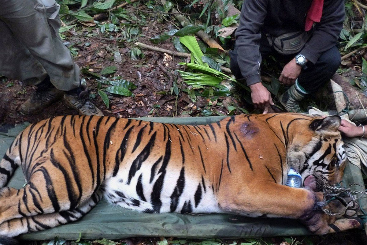 How China can help save the tigers in Malaysia | South China ... on amur tiger map, sumatran tiger map, dhole map, african tiger map, indochinese tiger map, chinese tiger map, caspian tiger map, tiger habitat map, golden tiger map, south china tiger map, malayn tiger map, asiatic cheetah map,