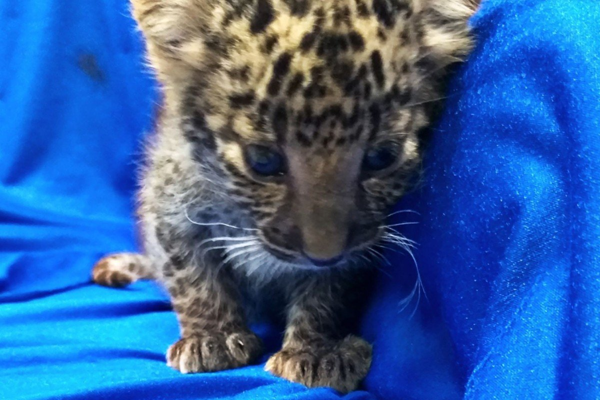 Indian man arrested after trying to sneak a leopard cub on