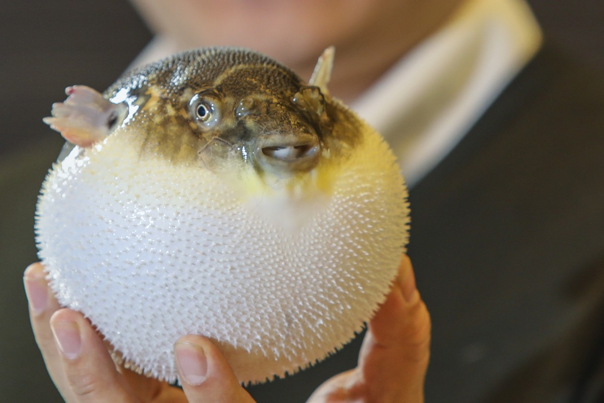 Pufferfish in China: diners lured by
