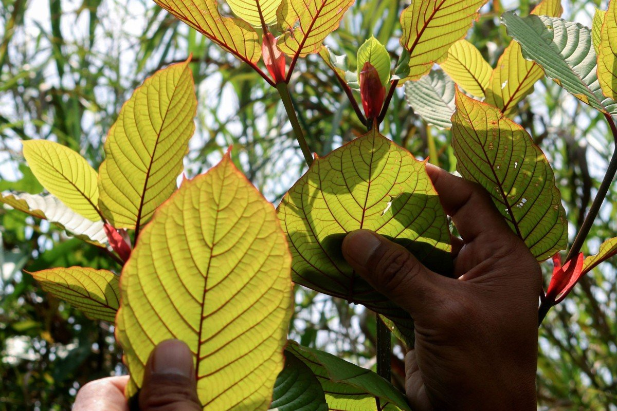 Indonesia cashes in on Kratom amid debate over the plant's health