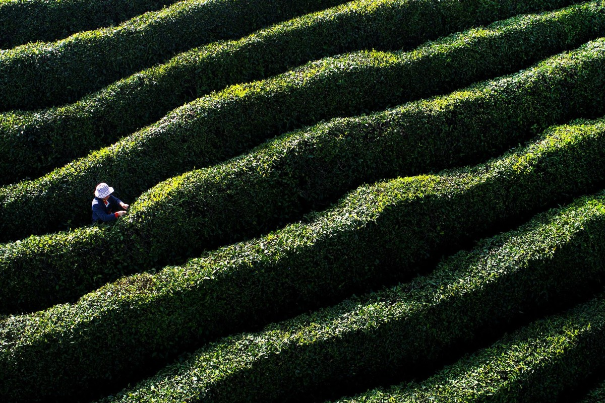 A farmer picks tea leaves in Mianxian county, Shaanxi province. Beijing's policy document reiterated a strategy to improve income levels and living standards in China's countryside. Photo: Xinhua