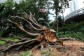 This Chater Garden tree was knocked over by Typhoon Vicente. It and a banyan on Wong Nai Chung Road had root rot and have been removed. Photo: May Tse