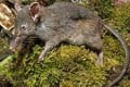 """The """"few-toothed rat"""" or """"worm eater"""" of Indonesia. Photo: EPA"""