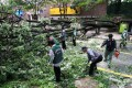 Strong winds from Typhoon Bolaven uproot a tree in Seoul on Tuesday. Photo: Xinhua